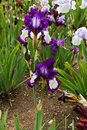 Blue irises Royalty Free Stock Photo