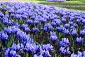 Blue irises field Royalty Free Stock Photo