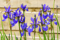 Blue irises flowering plants. Royalty Free Stock Photo