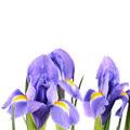 Blue irises isolated on white background the Stock Photos