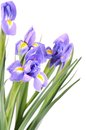 Blue irises isolated on white background the Stock Photography
