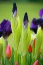 Blue irises and tulips Royalty Free Stock Photo