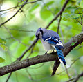 Blue Jay (5) Royalty Free Stock Photos