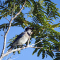 Blue jay bird an adult sitting on a tree branch trying to hide in between the leaves Royalty Free Stock Image