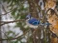 Blue jay bird on branch Royalty Free Stock Photo