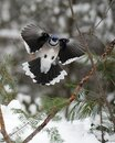 Blue Jay bird photo stock. Blue Jay in the winter season.  Spread wings. Flying with blur background. Picture. Photo. Image. Royalty Free Stock Photo