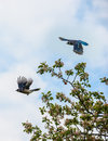 Blue Jay Bird in flight Royalty Free Stock Photo