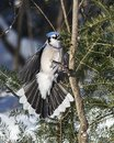 Blue Jay Bird photo.  Blue Jay Bird flying and perched on a spruce tree with a bokeh background winter season Royalty Free Stock Photo