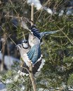 Blue Jay Bird photo close-up profile.  Blue Jay Bird flying and perched on a spruce tree with a bokeh background winter season Royalty Free Stock Photo