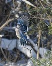 Blue Jay Bird photo close-up profile.  Blue Jay Bird flying on a spruce tree with a bokeh background winter season Royalty Free Stock Photo