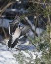 Blue Jay Bird photo.  Blue Jay Bird flying on a spruce tree with a bokeh background winter season Royalty Free Stock Photo