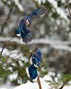 Blue Jay bird photo stock. Blue Jay in the winter season.  Picture. Photo. Image. Portrait.  Snow and birds. Couple of Blue Jay. Royalty Free Stock Photo