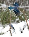 Blue Jay bird photo stock. Blue Jay in the winter season.  Picture. Photo. Image. Portrait.  Spread wings. Flying bird. Snow and Royalty Free Stock Photo