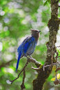 Blue Jay on a branch in Yosemeite National park Royalty Free Stock Photo