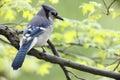 Blue Jay (Cyanocitta cristata bromia) Royalty Free Stock Photo