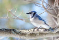 Blue Jay (Cyanocitta cristata) in early springtime, perched on a branch, observing and surveying his domain. Royalty Free Stock Photo