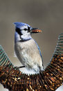 Blue jay cyanocitta cristata standing on a nut feeder eating Royalty Free Stock Photography