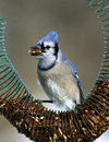 Blue jay cyanocitta cristata standing on a nut feeder eating Stock Photography