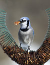 Blue jay cyanocitta cristata standing on a nut feeder eating Royalty Free Stock Photo