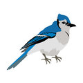 Blue Jay Flat Design Vector Illustration Royalty Free Stock Photo