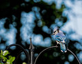 Blue jay male perched on garden structue with sky Stock Photo