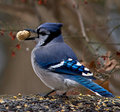 Blue Jay with Peanut Stock Photos