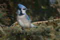 Blue jay perched on an evergreen branch looking over its shoulder Stock Images