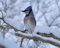 Blue jay perched on a tree branch Royalty Free Stock Photography