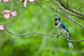Blue jay a perched in a tree during spring Stock Photos