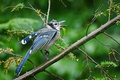 Blue Jay in the Rain Stock Image