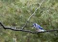 Blue jay in rain a curious bluejay monitors a backyard feeder from the safely of a pine branch the forest on a rainy day Stock Photos
