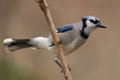 Blue jay texas in late fall plumage Royalty Free Stock Images