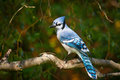 Blue Jay on Willow Royalty Free Stock Photo