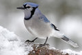 Blue Jay on a Winter Branch Royalty Free Stock Photo