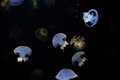 Blue jellyfish glowing against dark background Royalty Free Stock Photos