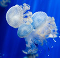 Blue jellyfish group of light Stock Photography
