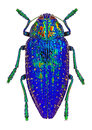 Blue jewel beetle from madagascar polybothris sumptuosa gema beautiful buprestidae Stock Photography