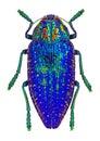 Blue jewel beetle from Madagascar (Polybothris sumptuosa gema) Royalty Free Stock Photo
