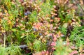 Blue juicy wild northern blueberries grow in colorful vegetation and grass in green and red autumn in the tundra.