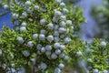 Blue Juniper Berries Royalty Free Stock Photo