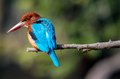 Blue Kingfisher bird, on a branch, beak left Royalty Free Stock Photo