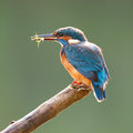 Blue Kingfisher with Food in Beak Royalty Free Stock Image