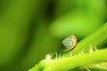 Blue Ladybug with orange stripe Royalty Free Stock Photo
