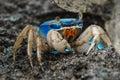 Blue land crab Royalty Free Stock Photo