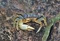 Blue Land Crab Cardisoma Guanhumi