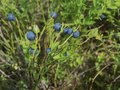 Ripe blueberries in the forest Royalty Free Stock Photo