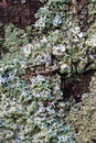 Blue lichen on stone macro close up of Royalty Free Stock Photography