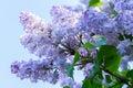 Blue Lilac Flowers