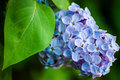 Blue lilac in green leaves outdoors macro Stock Photo