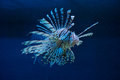 The blue lionfish Royalty Free Stock Image